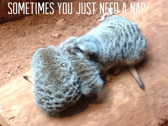 Napping Meekrats
